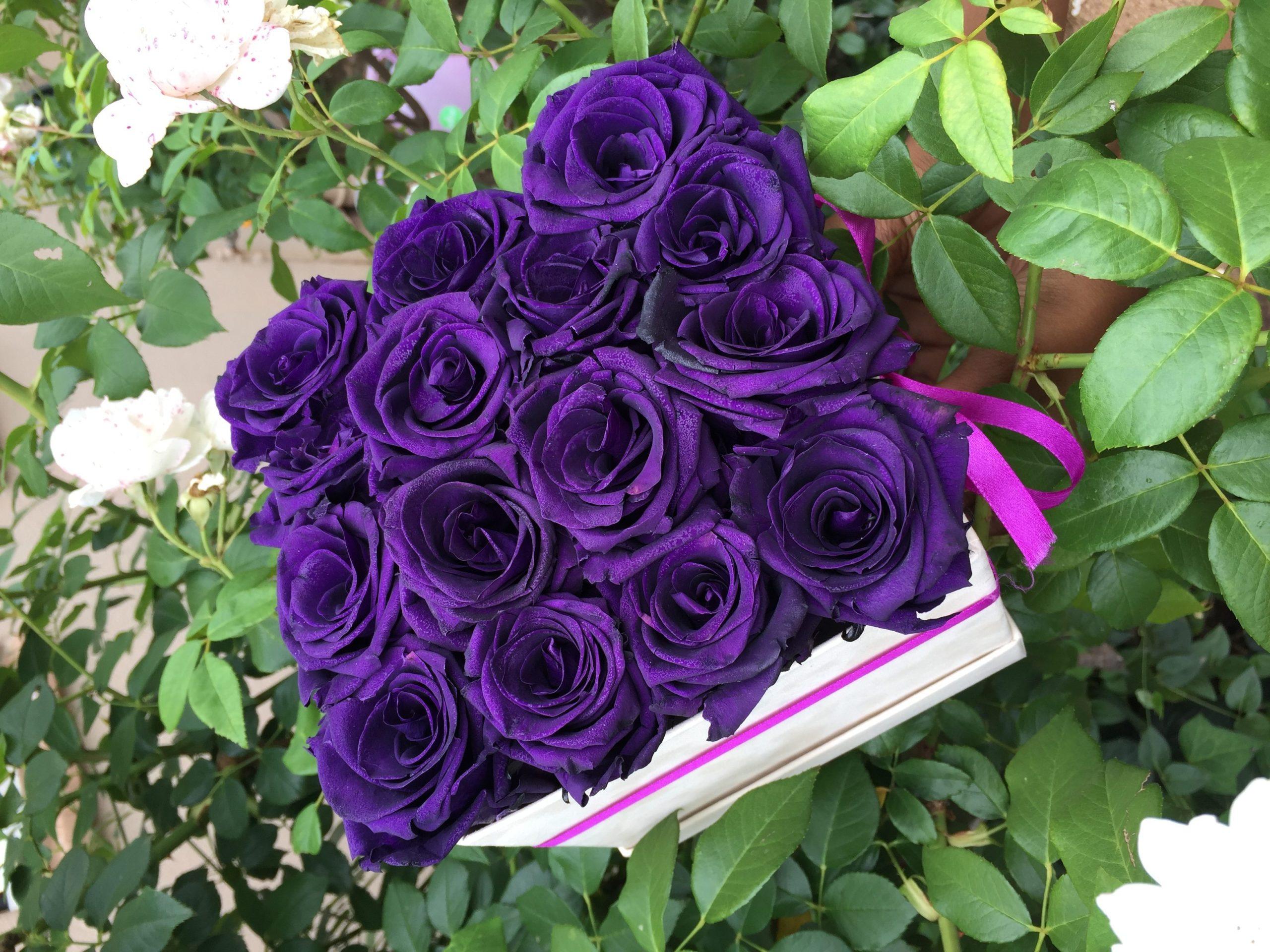 purple long life roses