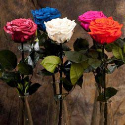 iluba long life roses